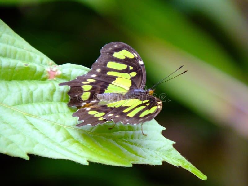 绿沸铜蝴蝶Siproeta stelenes 库存照片