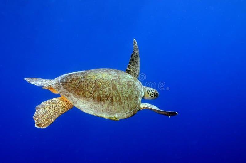 绿浪乌龟水下有蓝色背景 免版税库存照片