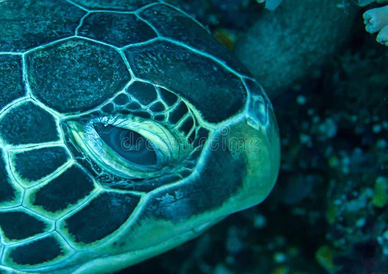 绿浪乌龟海龟属mydas的旁边画象基于巴厘岛,印度尼西亚珊瑚礁的  库存照片