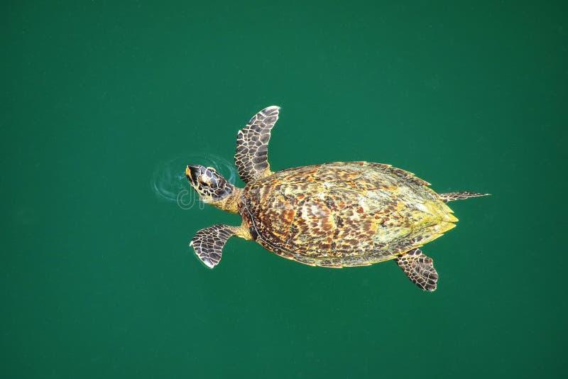 绿浪在乌龟孔的乌龟游泳在Ouvea海岛,洛亚蒂群岛,新喀里多尼亚上 库存照片