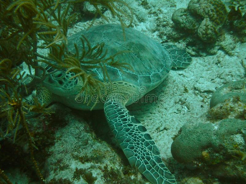 绿海龟在乌龟礁石,东海岸博内尔岛的海龟属mydas 免版税库存图片