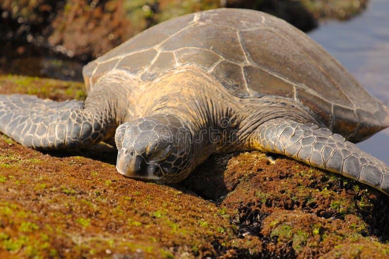 绿海龟栖于岩石上 库存照片