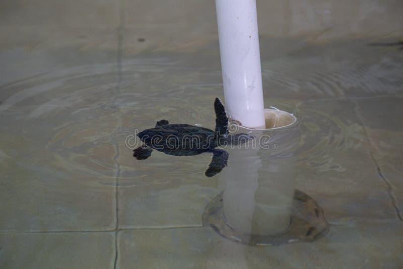 绿海龟& x28;海龟属mydas& x29;在囚禁 库存照片