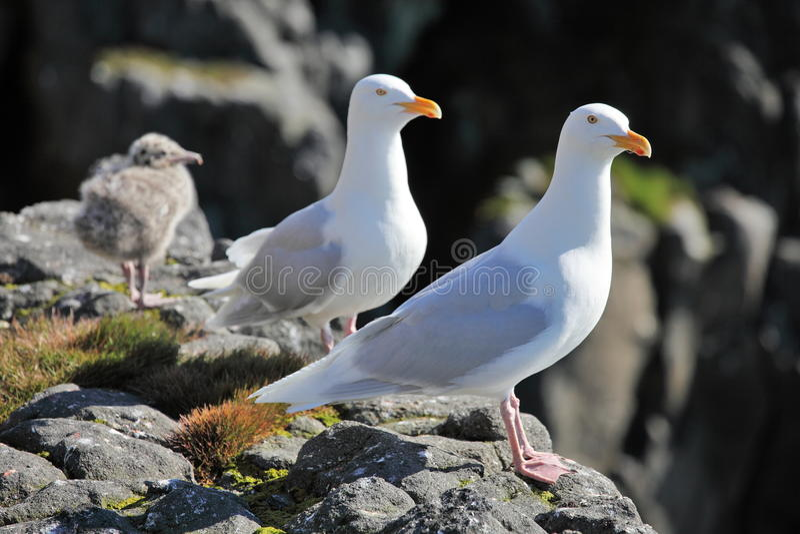 绿灰色鸥hyperboreus larus海鸥 库存照片