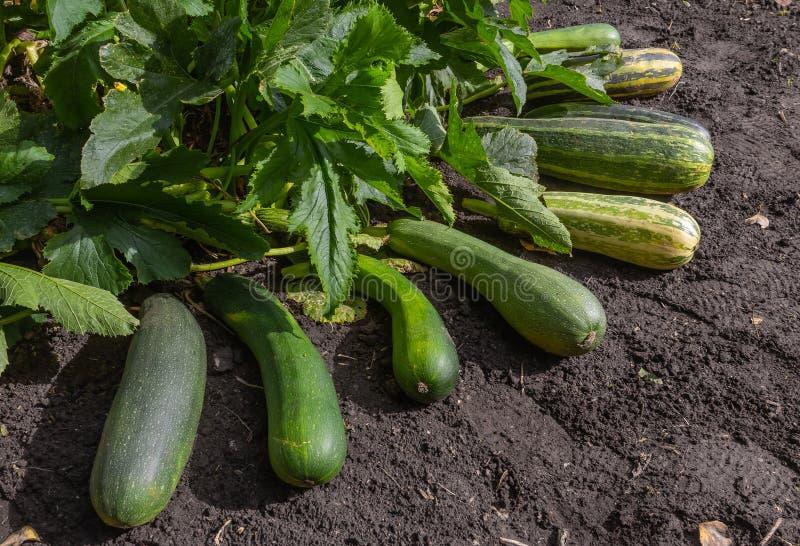 绿皮胡瓜在庭院里 库存照片