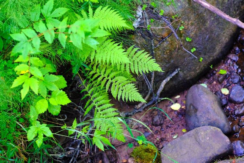绿色、蕨和湿石头 免版税库存图片