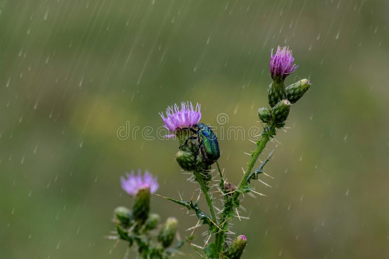绿色上升了金龟子甲虫Cetonia aurata坐桃红色花 库存图片