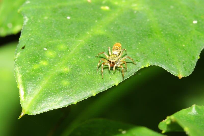 绿色上涨叶子蜘蛛 免版税库存图片