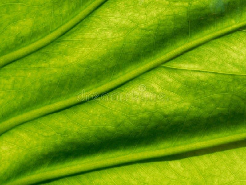 绿色与静脉和小捕网的静脉的叶子有机纹理以作为背景使用的样式或摘要形式 库存图片