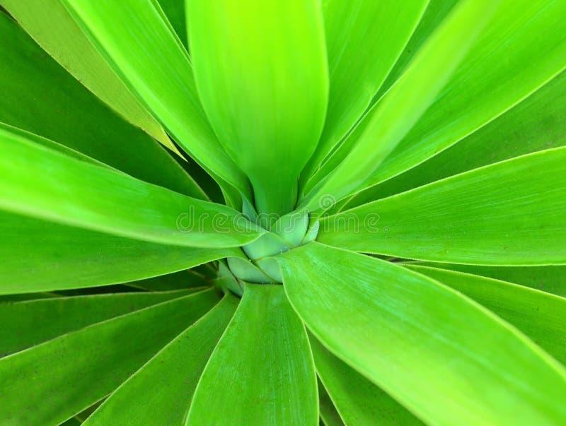 绿色丝兰叶子作为花卉背景 西班牙刺刀树特写镜头 自然热带植物纹理 库存图片