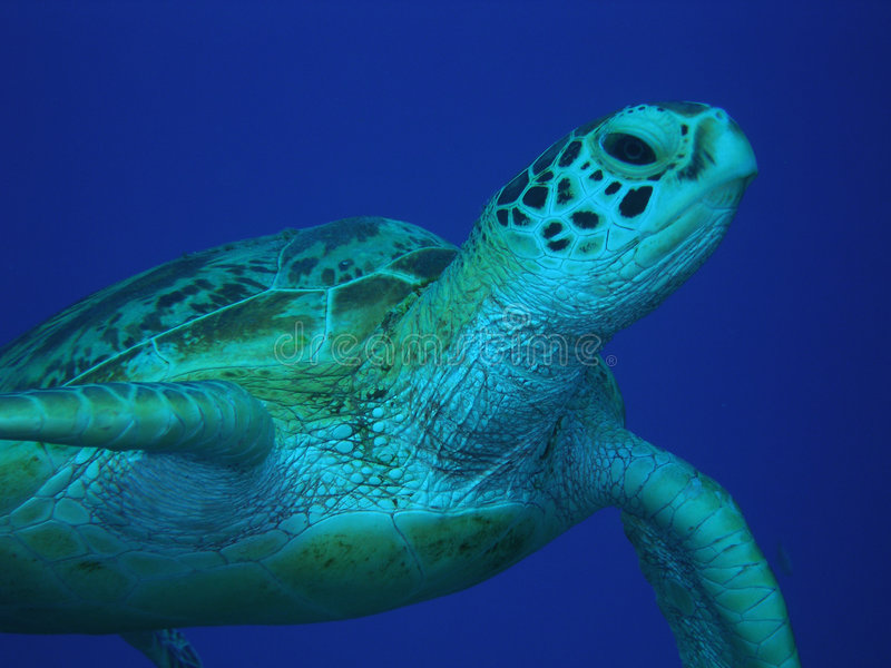 绿色中间海龟水 免版税库存照片