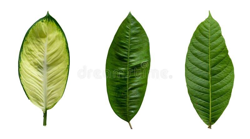 绿色事假白色背景 免版税库存照片