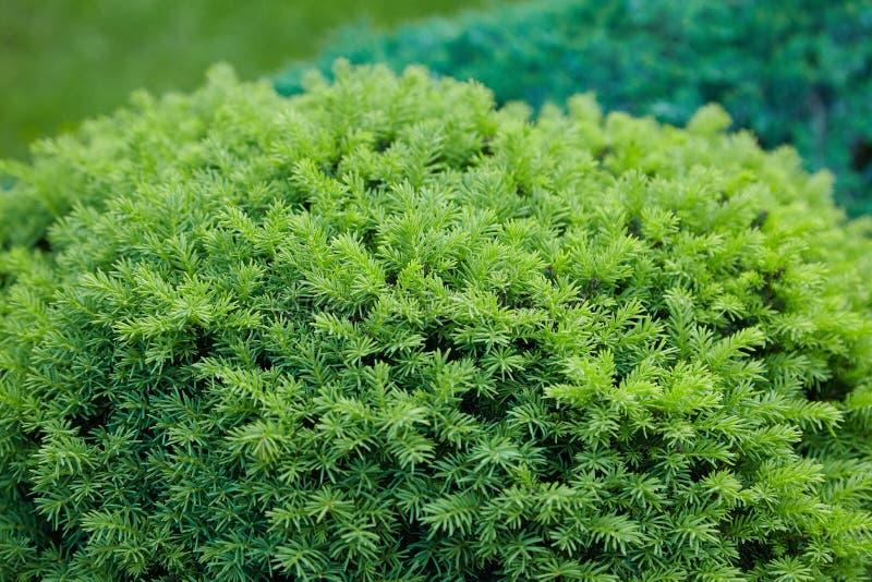 绿色云杉groving在户外庭院里 免版税库存照片