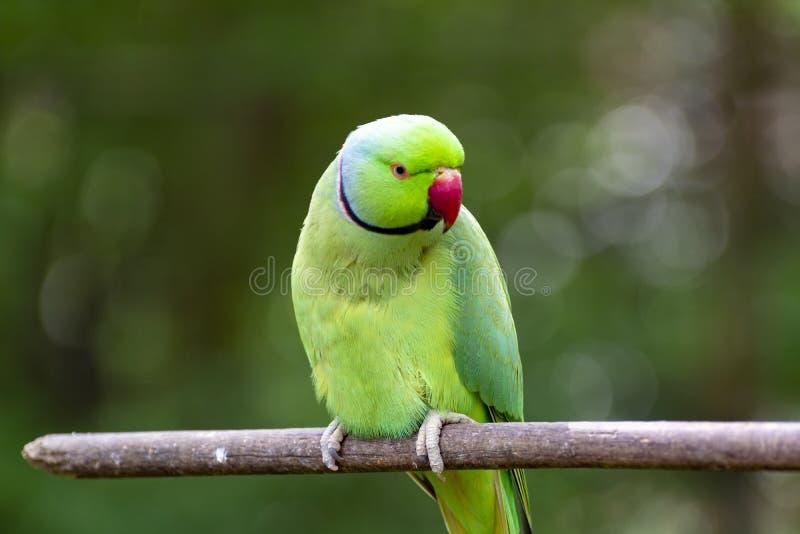 绿色亚历山大诗行长尾小鹦鹉,居住在亚洲地区 图库摄影