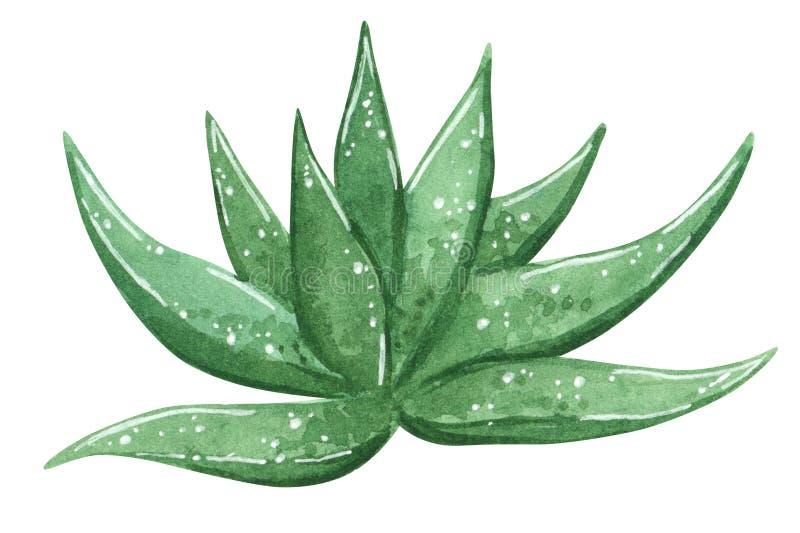 绿色仙人掌芦荟维拉,药用植物,手拉的水彩例证 库存例证