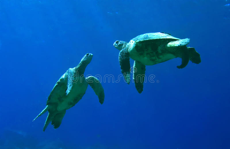 绿色使用的海龟 免版税库存图片