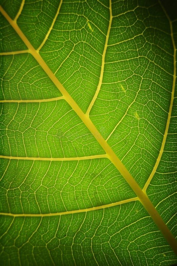 绿色健康叶子 免版税库存照片