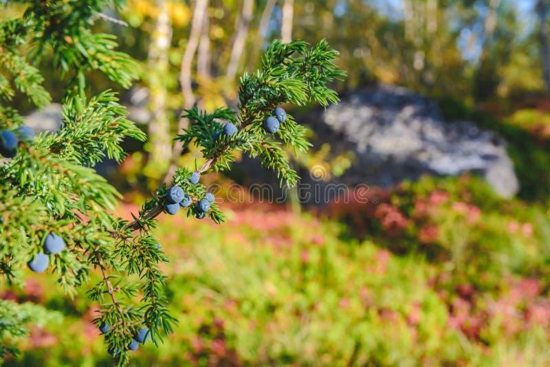 绿色刺柏树丛用莓果在北部芬兰 库存照片
