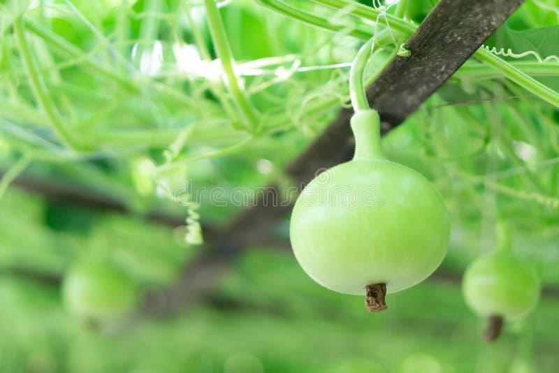 绿色匏或瓢金瓜的关闭在分支,选择聚焦 库存图片
