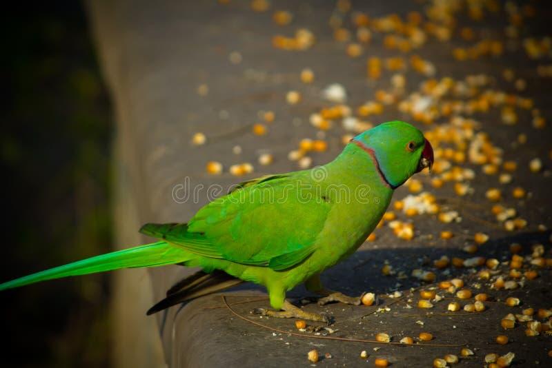 绿色印度人Ringneck长尾小鹦鹉,吃玉米切片,普吉岛飞禽公园的五颜六色的鹦鹉 库存图片