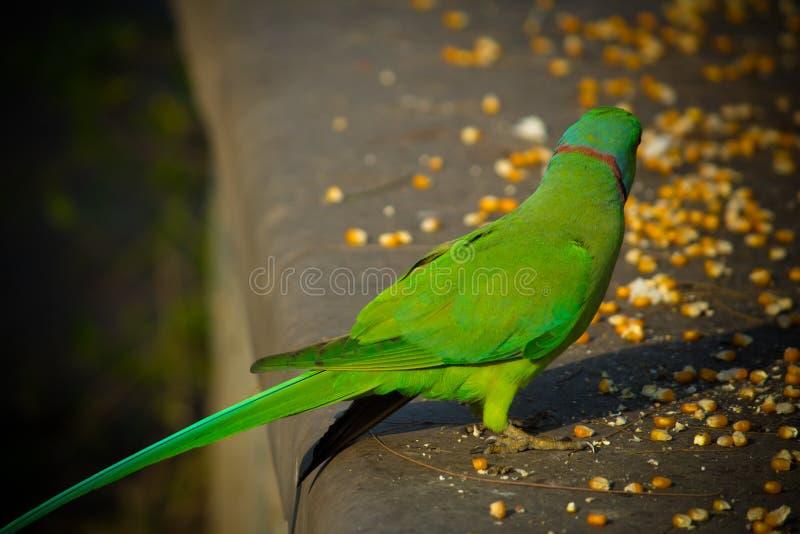 绿色印度人Ringneck长尾小鹦鹉,吃玉米切片,普吉岛飞禽公园的五颜六色的鹦鹉 图库摄影