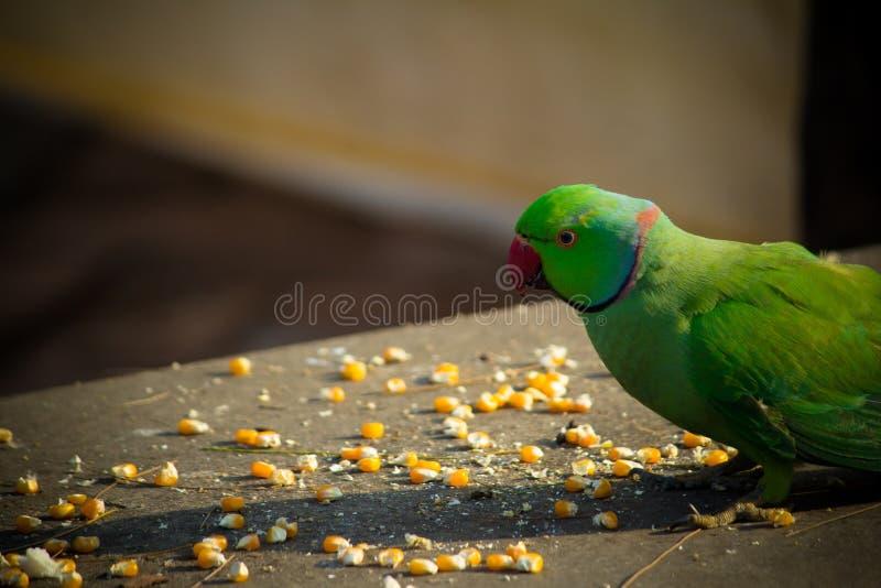 绿色印度人Ringneck长尾小鹦鹉,吃玉米切片,普吉岛飞禽公园的五颜六色的鹦鹉 免版税图库摄影