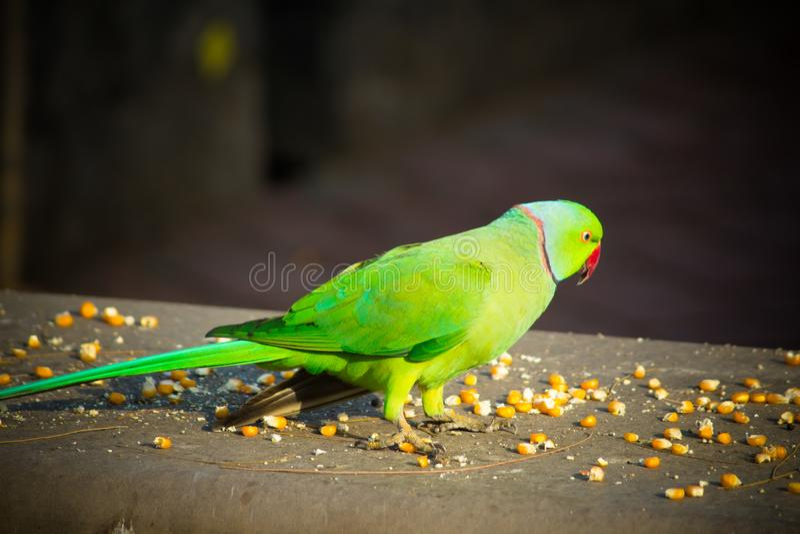 绿色印度人Ringneck长尾小鹦鹉,吃玉米切片,普吉岛飞禽公园的五颜六色的鹦鹉 免版税库存图片