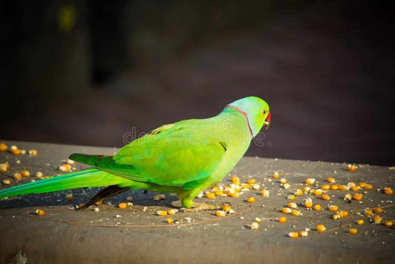 绿色印度人Ringneck长尾小鹦鹉,吃玉米切片,普吉岛飞禽公园的五颜六色的鹦鹉 库存照片