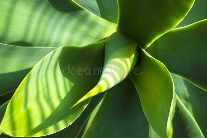 绿色厚实的多汁植物离开龙舌兰 龙舌兰Djengola 肉多的叶子特写镜头玫瑰华饰在明亮的太阳的光芒的 免版税图库摄影