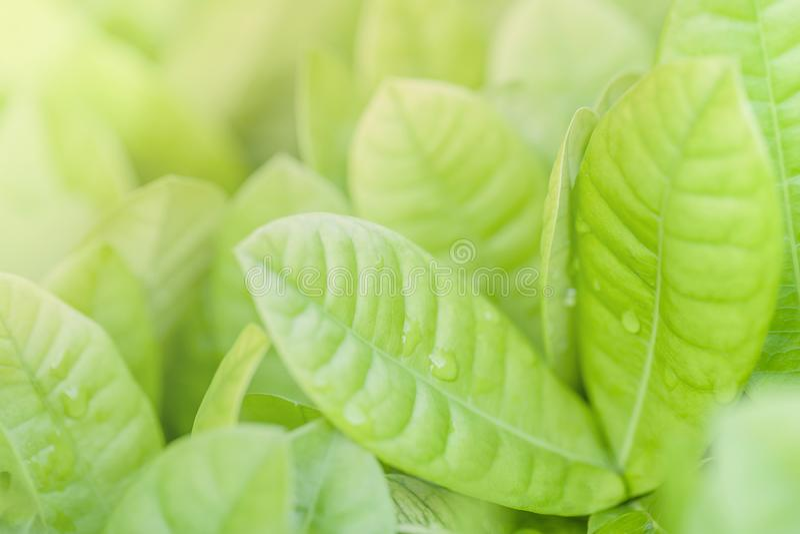 绿色叶子关闭和软的焦点  背景绿色本质 库存图片
