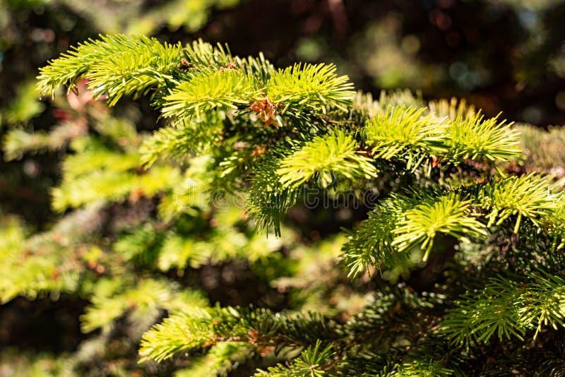 绿色叶子受苦在分支的nephrolepis 免版税图库摄影