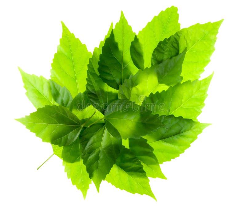 绿色叶子叶子 图库摄影