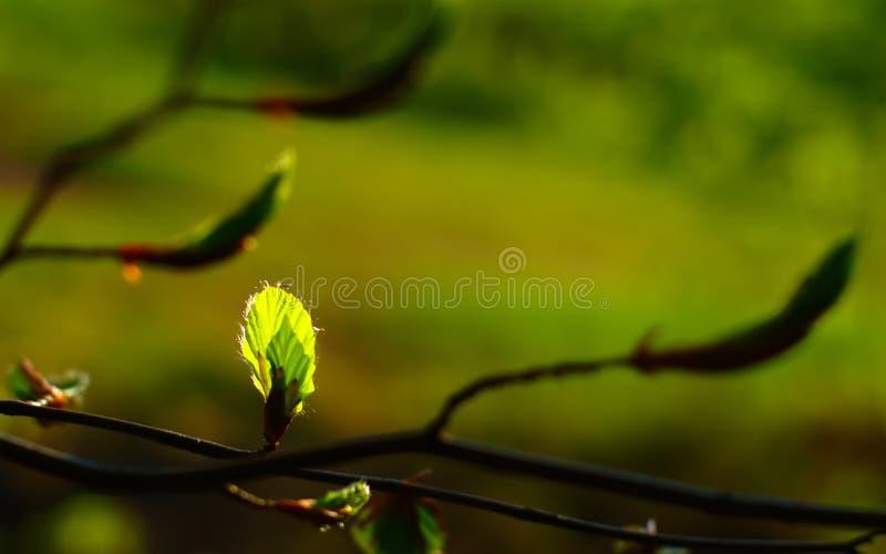 绿色叶子和芽在春天 库存照片