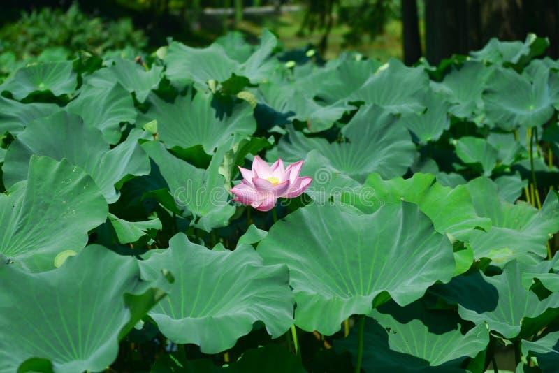绿色叶子围拢的莲花在夏天 免版税库存照片