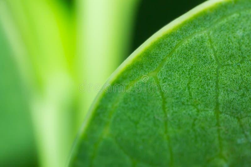 绿色叶子在自然背景中 库存照片
