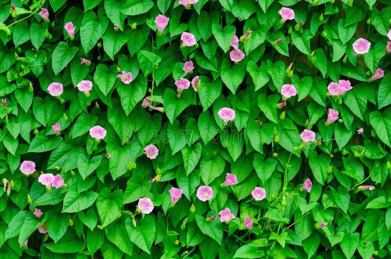 绿色叶子墙壁在庭院的 免版税库存照片