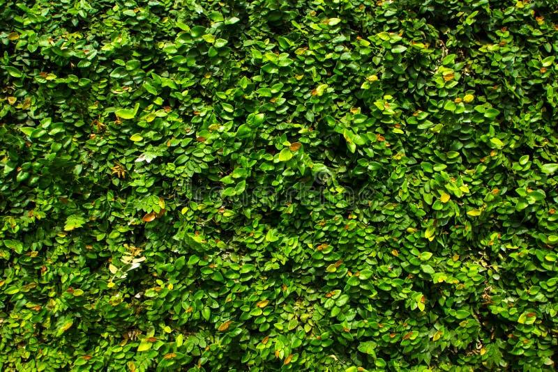 绿色叶子墙壁纹理背景的绿色叶子背景 免版税库存图片