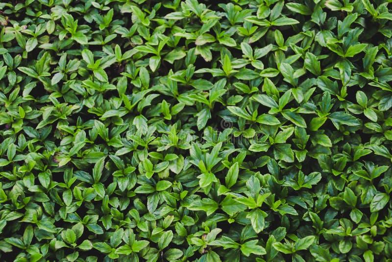 绿色叶子墙壁纹理背景 免版税库存图片