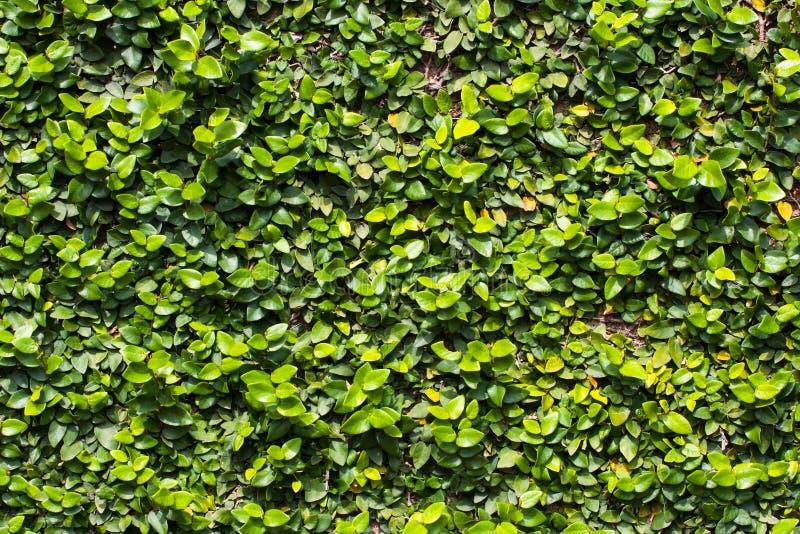 绿色叶子墙壁背景的绿色叶子背景 免版税图库摄影