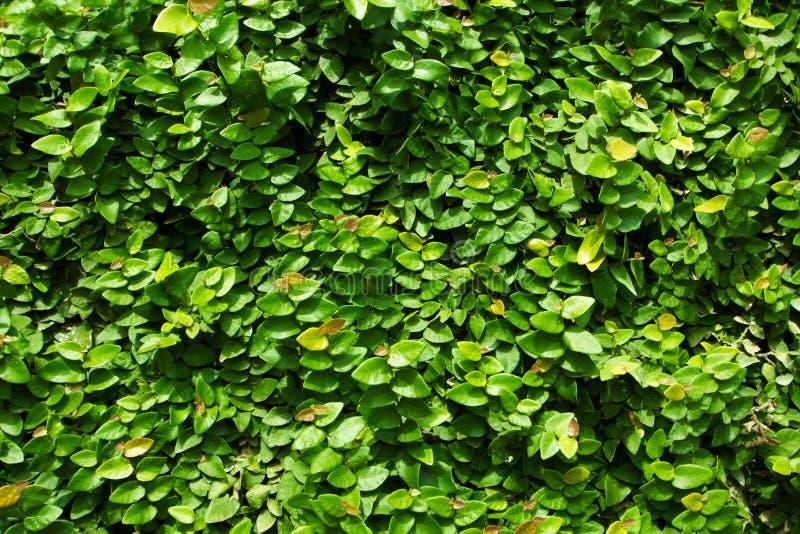 绿色叶子墙壁背景 库存图片