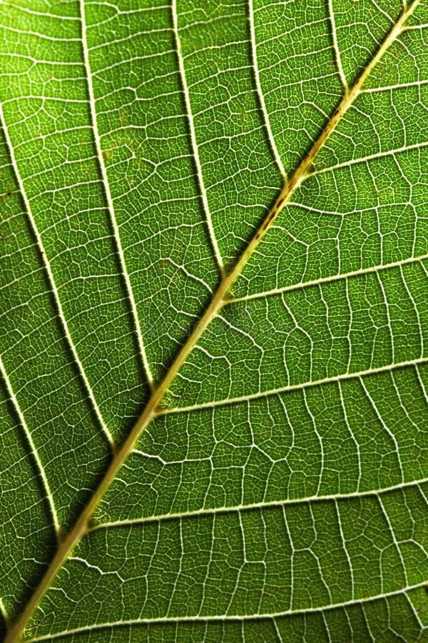 绿色叶子宏观照片有成脉络的样式的 布局的自然本底 顶视图 库存图片