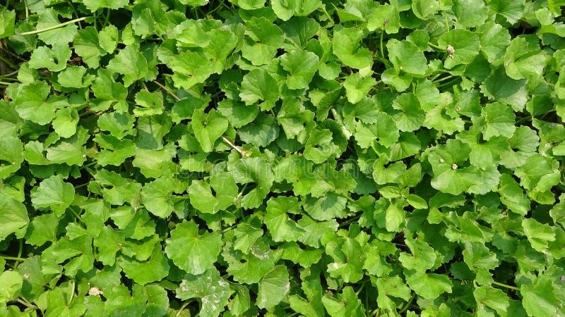 绿色叶子是非常密集的 库存照片