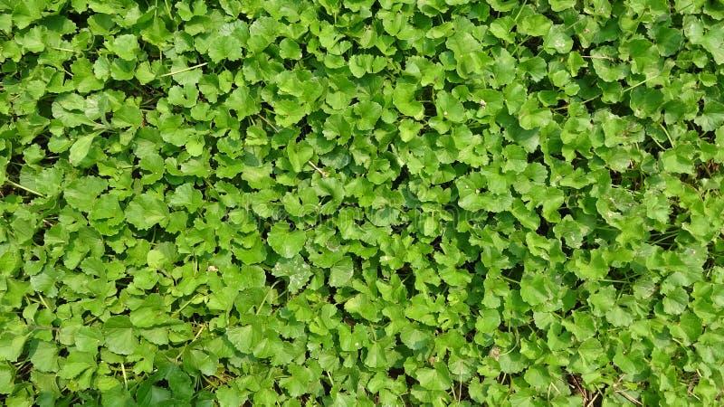 绿色叶子是非常密集的 免版税库存照片