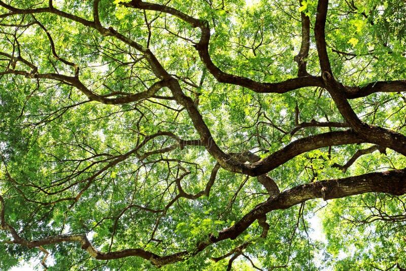 绿色叶子树和分支树天花板美丽自然 库存照片