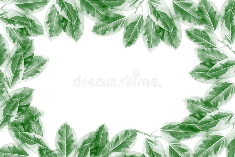 绿色叶子样式,秋天在白色背景隔绝的植物叶子 皇族释放例证
