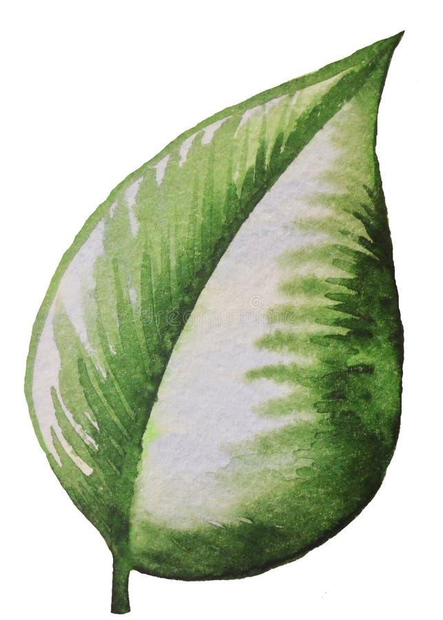 绿色叶子植物绘与在白色背景的水彩 库存图片