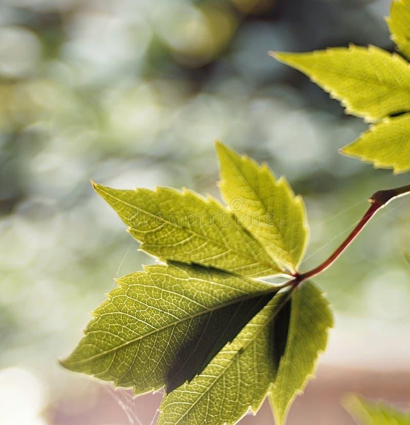 绿色叶子特写镜头宏观bokeh背景室外阳光 库存图片