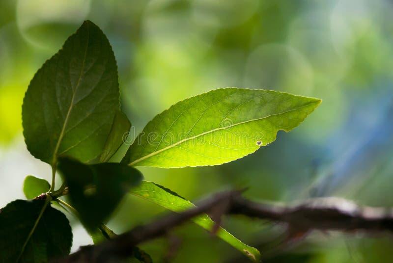 绿色叶子特写镜头有Varigated背景 库存图片
