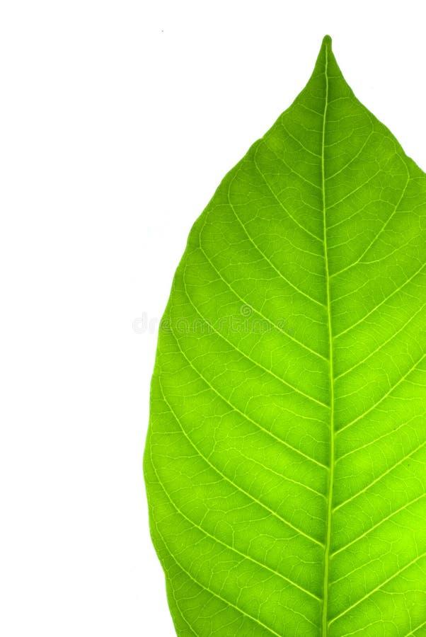 绿色叶子白色 库存图片