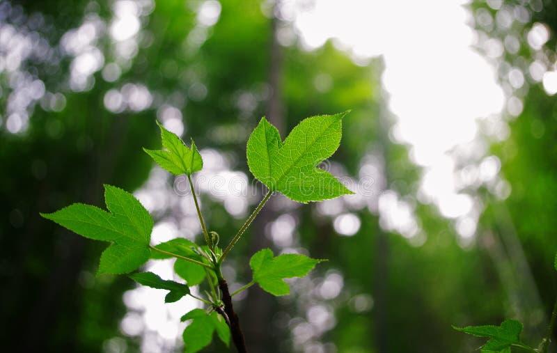 绿色叶子的梦想 库存图片